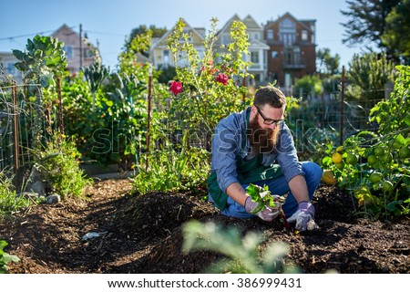 bearded millennial harvesting beets in an urban communal garden - stock photo