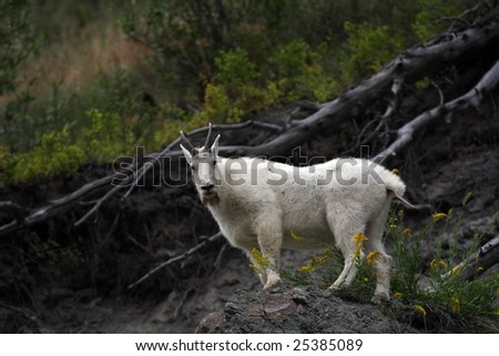 Bearded Mountain Goat standing in yellow flowers.
