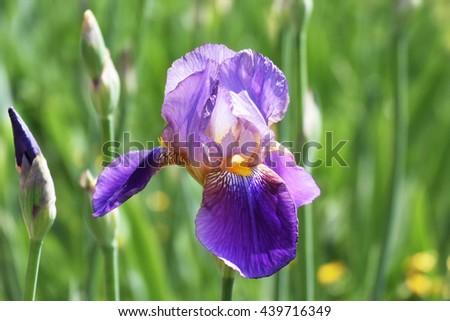 Bearded purple iris flower in full bloom in the garden - stock photo