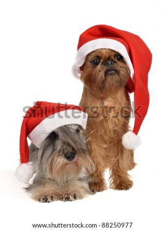 Bearded Santa dogs with red hats, isolated on white background