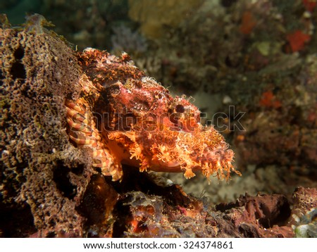 Bearded Scorpionfish, Scorpaenopsis barbatus camouflaging and changing color  on Maldives reef. - stock photo