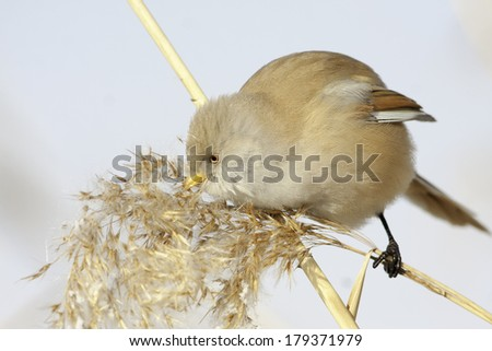 bearded tit,female - reedling (panurus biarmicus)  - stock photo