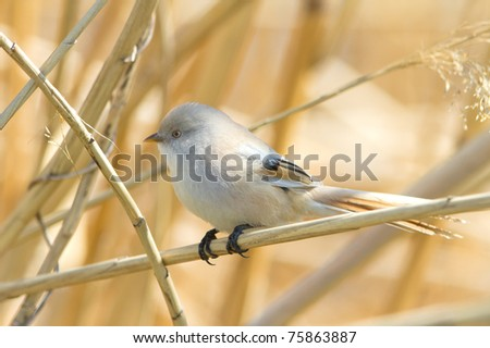 bearded tit, female - reedling (Panurus biarmicus) - stock photo