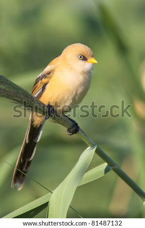 bearded tit on the reed, male, immature - reedling (Panurus biarmicus) - stock photo