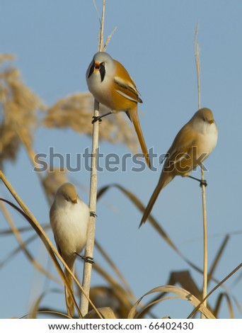 Bearded Tit - Reedling (Panurus Biarmicus) famili - stock photo