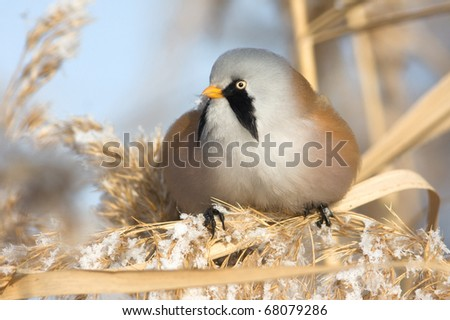 Bearded Tit - Reedling (Panurus Biarmicus) male - stock photo