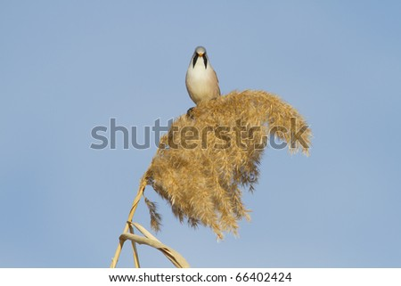 Bearded Tit - Reedling (Panurus Biarmicus) male perched on reed - stock photo