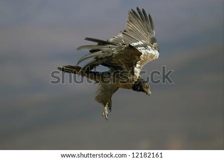 Bearded Vulture - stock photo