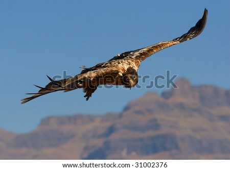 bearded vulture and mountain - stock photo