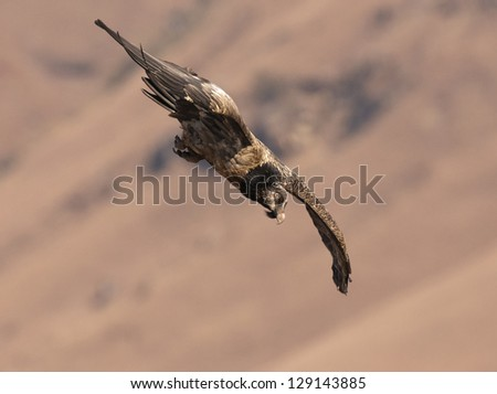 Bearded Vulture diving down - stock photo