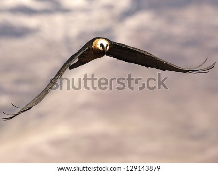 Bearded Vulture flapping its wings as it flies toward you - stock photo