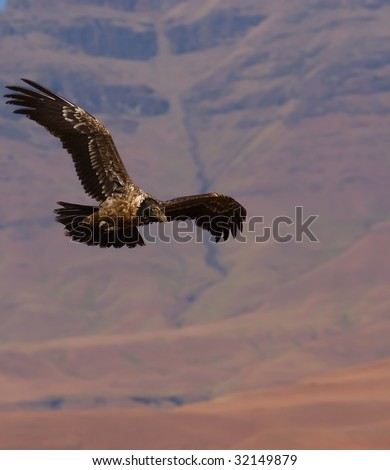 bearded vulture flying - stock photo