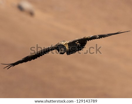 Bearded Vulture flying with wings extended and heading downward - stock photo