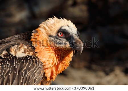 Bearded Vulture, Gypaetus barbatus, detail portrait of rare mountain bird, in stone habitat, Spain - stock photo