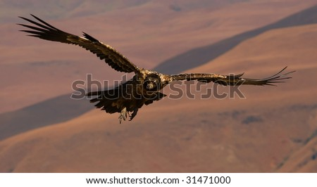 bearded vulture in flight - stock photo
