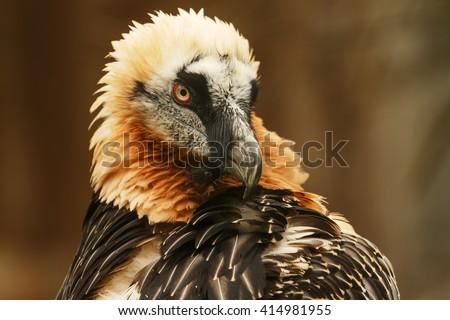 Bearded Vulture portrait - stock photo