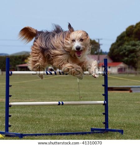 Beardy clearing an agility jump - stock photo