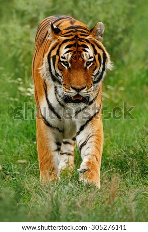 Beast of prey  Amur or Siberian Tiger, Panthera tigris altaica, walking in the grass - stock photo