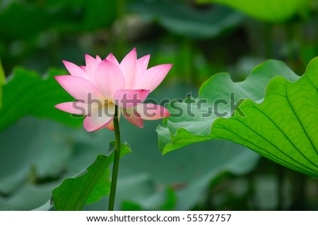 beatiful pink lotus - stock photo