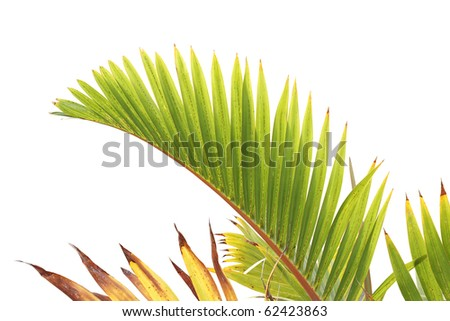 Beatuiful green palm tree leaf isolated on white background - stock photo
