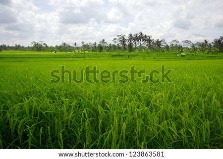 beautifful rice fields in bali - stock photo