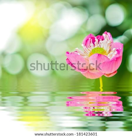beautiflu lotus blossom on nature light beem - stock photo