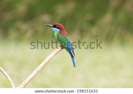 Beautifu Bee-eate bird ( Blue throated Bee eater) , Bird of Thailand