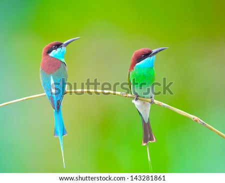 Beautifu Bee-eate bird ( Blue throated Bee eater) on green background - stock photo