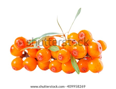 beautiful abundance twig of sea buckthorn berries is isolated on white background - stock photo