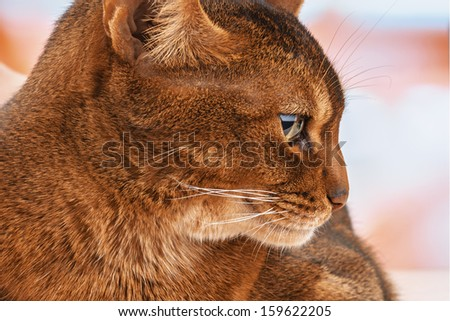 Beautiful Abyssinian cat close up. - stock photo