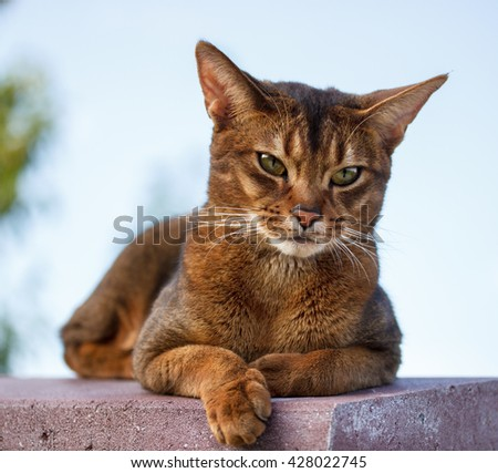 Beautiful Abyssinian cat close up.
