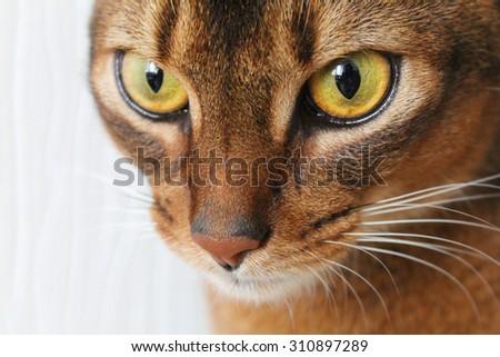 Beautiful abyssinian cat. Closeup shot. - stock photo