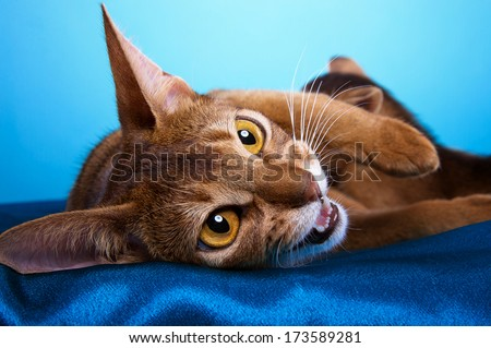Beautiful abyssinian cat feeds her little sweet kitten. Animal portrait. Purebred cat is lying. Blue background. Colorful decorations. Collection of funny animals - stock photo