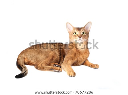 Beautiful Abyssinian cat. It is isolated on a white background.
