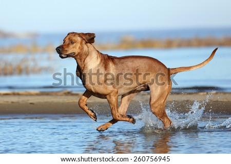 Beautiful active dog runs on water - stock photo