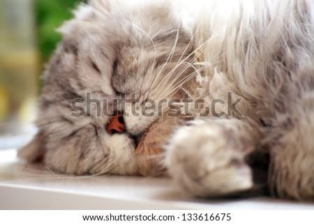 beautiful adorable white cat sleeping - stock photo