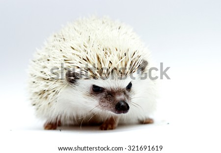 beautiful adult african pygmy hedgehog man color black white