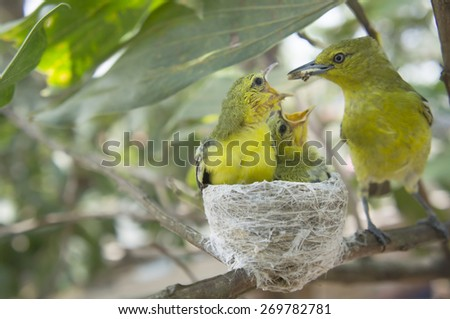 Beautiful adult Common Iora (Aegithina Tiphia) catching the worms to feed the chicks in the nest on the tree - stock photo