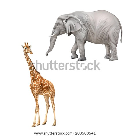 Beautiful adult Giraffe looking at us, African elephant (Loxodonta africana) on a white background.