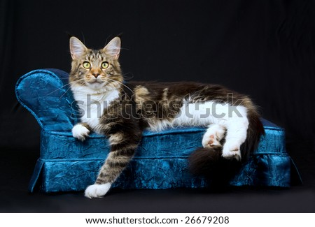 Beautiful adult Maine Coon brown tabby lying on miniature blue couch chaise sofa on black background - stock photo