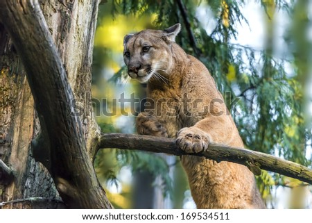 Beautiful Adult Mountain Lion close-up portrait - stock photo