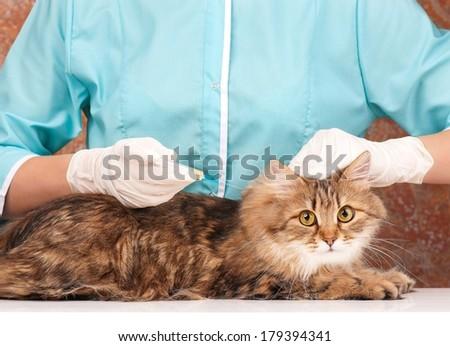 Beautiful adult siberian cat on the veterinary survey - stock photo