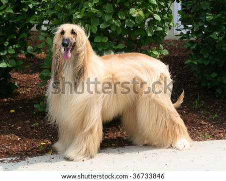 beautiful afghan dog - stock photo