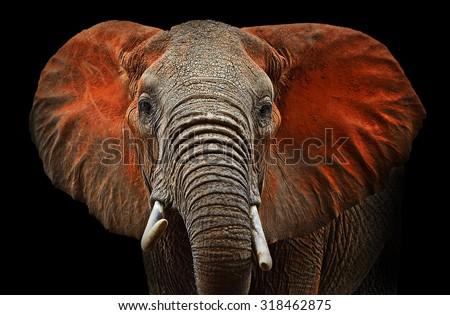 Beautiful African elephants in Tsavo Park in Kenya - stock photo