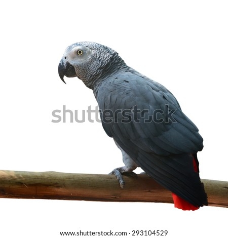 Beautiful African Grey Parrot isolated on a white background - stock photo