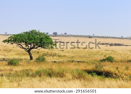 Beautiful african landscape in Masai Mara, Kenya at sunset time. Big tree and wildebeest antelopes on background - stock photo