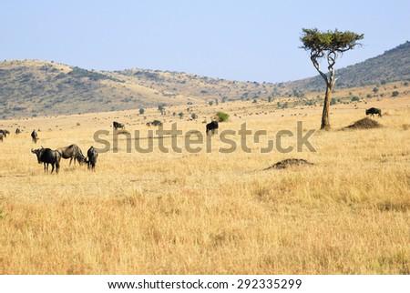 Beautiful african landscape in Masai Mara, Kenya at sunset time. Big tree and wildebeest antelopes  - stock photo