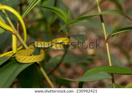 Beautiful Ahaetulla snake on tree branches in Borneo. - stock photo