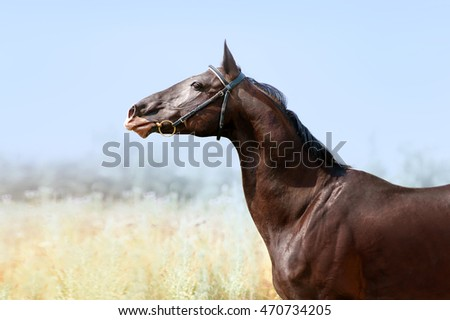 Beautiful Akhal-Teke stallion. Portrait of horse in profile with swan neck