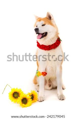 Beautiful Akita Inu dog ready for summer vacations - stock photo